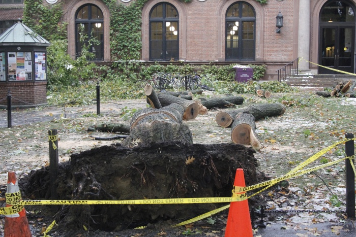 fallen red oak in front of Neilson Library